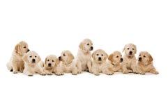 Filhotes de cachorro do Retriever dourado Fotos de Stock Royalty Free