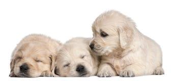Filhotes de cachorro do Retriever dourado, 4 semanas velhos Fotografia de Stock Royalty Free