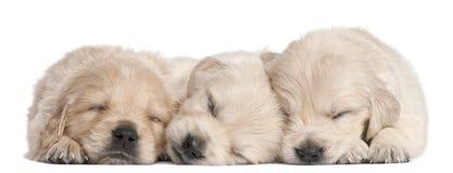 Filhotes de cachorro do Retriever dourado, 4 semanas velhos, adormecidos Imagens de Stock