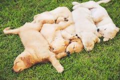 Filhotes de cachorro do Retriever dourado Fotografia de Stock
