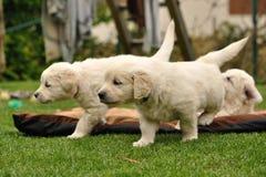 Filhotes de cachorro do retriever dourado no jardim Fotos de Stock