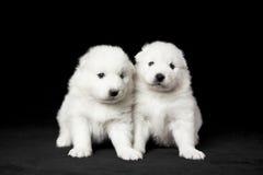 Filhotes de cachorro do Samoyed Foto de Stock
