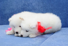 Filhotes de cachorro do Samoyed (ou o Bjelkier) Imagens de Stock Royalty Free