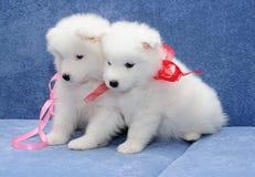 Filhotes de cachorro do Samoyed (ou o Bjelkier) Foto de Stock