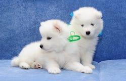 Filhotes de cachorro do Samoyed (ou o Bjelkier) Imagem de Stock Royalty Free