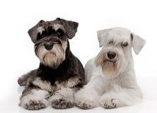 Filhotes de cachorro do schnauzer diminuto imagem de stock royalty free