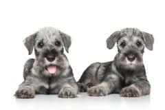 Filhotes de cachorro do schnauzer padrão Fotos de Stock
