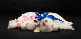Filhotes de cachorro do sheep-dog branco com uma curva em um nec Imagem de Stock