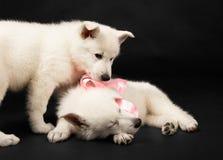 Filhotes de cachorro do sheep-dog branco com uma curva em um nec Foto de Stock