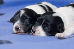 Filhotes de cachorro do sono Fotografia de Stock Royalty Free