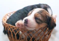 Filhotes de cachorro do sono imagem de stock