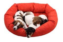 Filhotes de cachorro do sono Imagens de Stock