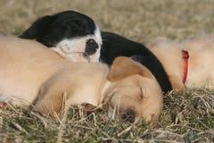 Filhotes de cachorro do sono Fotografia de Stock