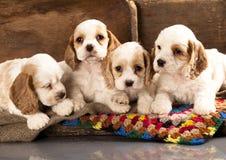 Filhotes de cachorro do Spaniel de Cocker Fotos de Stock