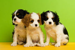 Filhotes de cachorro do Spaniel de rei Charles Fotografia de Stock