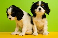 Filhotes de cachorro do Spaniel de rei Charles Imagens de Stock Royalty Free