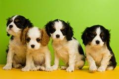 Filhotes de cachorro do Spaniel de rei Charles Fotos de Stock