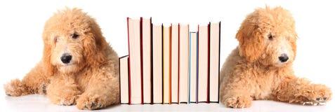 Filhotes de cachorro do suporte para livros Foto de Stock Royalty Free