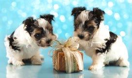 Filhotes de cachorro do terrier de Biewer imagem de stock