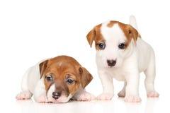 Filhotes de cachorro do terrier de Jack Russell Imagens de Stock Royalty Free
