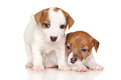Filhotes de cachorro do terrier de Jack Russell Foto de Stock