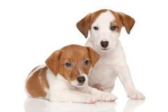Filhotes de cachorro do terrier de Jack Russell Fotos de Stock