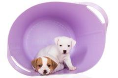 Filhotes de cachorro do terrier de Jack Russell Fotografia de Stock
