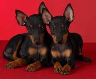 Filhotes de cachorro do terrier de Manchester Foto de Stock