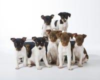 Filhotes de cachorro do terrier de rato Fotografia de Stock Royalty Free