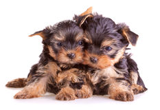 Filhotes de cachorro do terrier de Yorkshire imagens de stock royalty free
