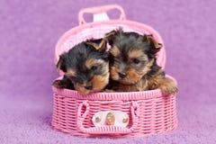 Filhotes de cachorro do terrier de Yorkshire Imagem de Stock Royalty Free