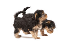 Filhotes de cachorro do yorkshire terrier Foto de Stock