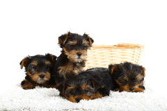 Filhotes de cachorro do yorkshire terrier Fotografia de Stock Royalty Free