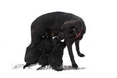 Filhotes de cachorro dos cuidados da matriz Fotos de Stock Royalty Free
