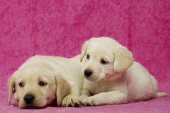Filhotes de cachorro dourados de Labrador Fotos de Stock