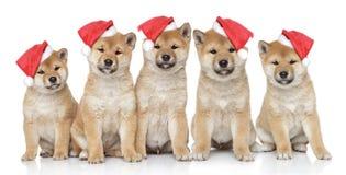 Filhotes de cachorro em tampões do Natal em um fundo branco Foto de Stock Royalty Free