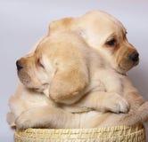 Filhotes de cachorro em uma cesta. Imagem de Stock Royalty Free