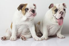 Filhotes de cachorro ingleses do buldogue Fotos de Stock