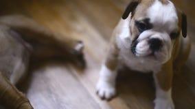 Filhotes de cachorro ingleses do buldogue video estoque