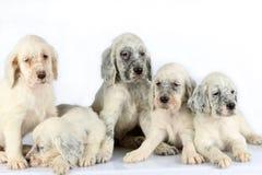 Filhotes de cachorro ingleses do setter Foto de Stock Royalty Free