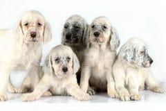 Filhotes de cachorro ingleses do setter Fotos de Stock