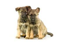 Filhotes de cachorro isolados no fundo branco Imagens de Stock Royalty Free