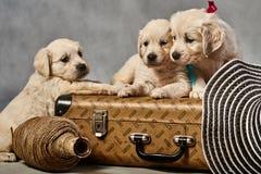 Filhotes de cachorro de labrador retriever Imagens de Stock Royalty Free