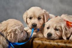 Filhotes de cachorro de labrador retriever Fotografia de Stock