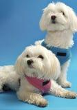 Filhotes de cachorro malteses Foto de Stock
