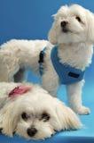 Filhotes de cachorro malteses doces Imagem de Stock