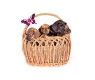 Filhotes de cachorro na cesta fotografia de stock royalty free