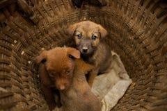 Filhotes de cachorro na cesta Fotografia de Stock