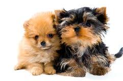 Filhotes de cachorro no estúdio Fotos de Stock Royalty Free