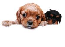 Filhotes de cachorro novos curiosos Fotografia de Stock
